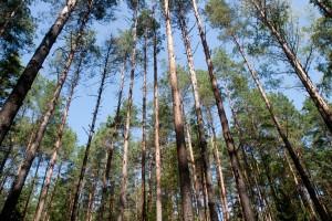 Aukšti medžiai